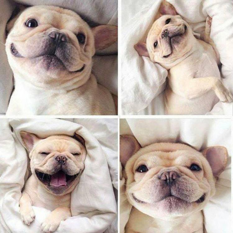 french bulldog puppy cute puppies adorable gummy bear song gummybear gummibar youtube youtuber animated cartoon character