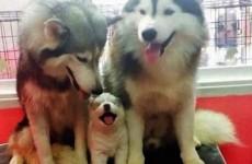 huskyfamily